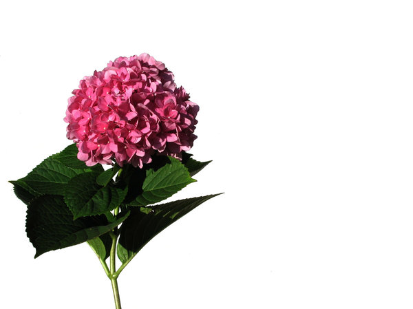 single hortensia  1: none