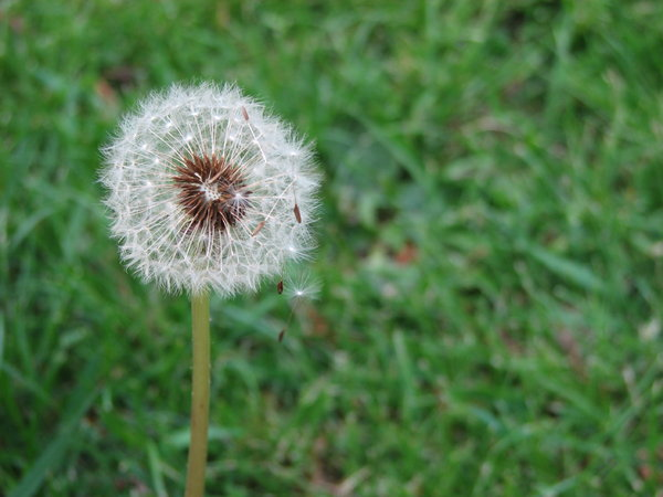 Dandelion  4: In my yard========================Please drop me a quick note if you find my pictures useful.Even if it's something small --I would be absolutely thrilled to know where & how they are being used!