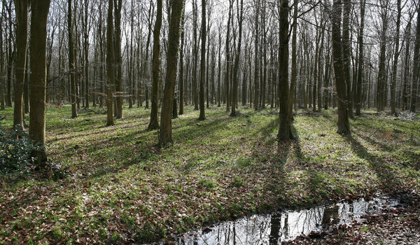 Spring wood: A beech (Fagus) wood on the South Downs, West Sussex, England, in early spring.