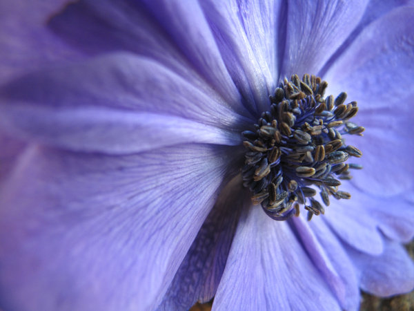 Blue Anenome: Bright, Bold and Beautiful the Blue Anenome brightening up any day!