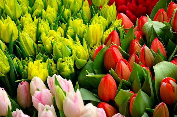 Bunches of Tulips 2: Tulips for sale at a market in Seattle, Washington.