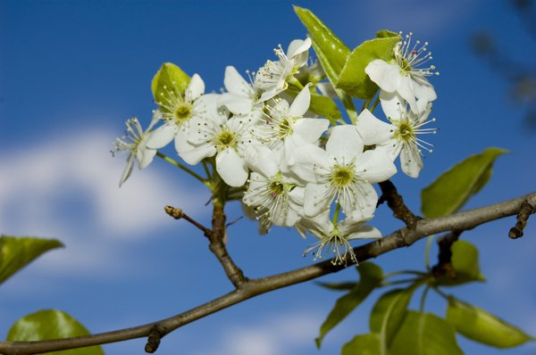 Blossums 4: Fruit tree blossums