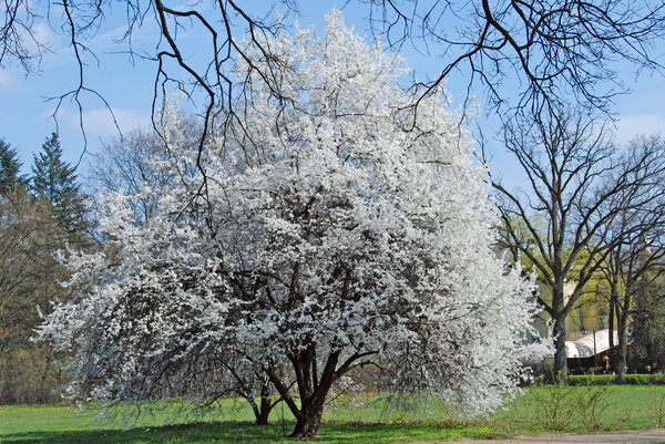 White tree: Tree (apple) in white blossom