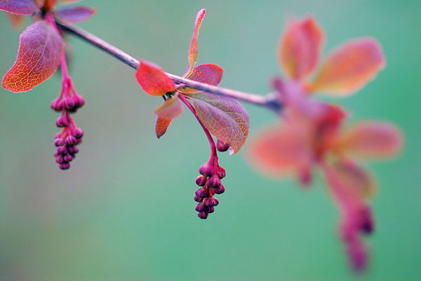 Colours of the autumn: autumn's red leafs of berberis