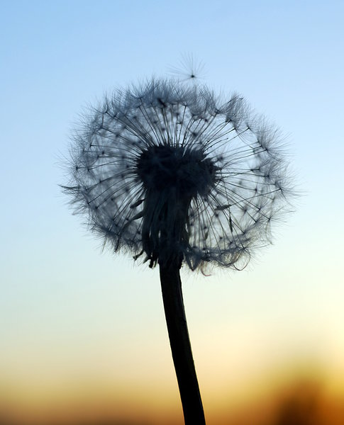 Sphere of Dandelion clock  2: Ball of parachutes - dandelion seeds