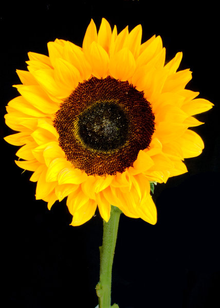 Sunshine: Sunflower