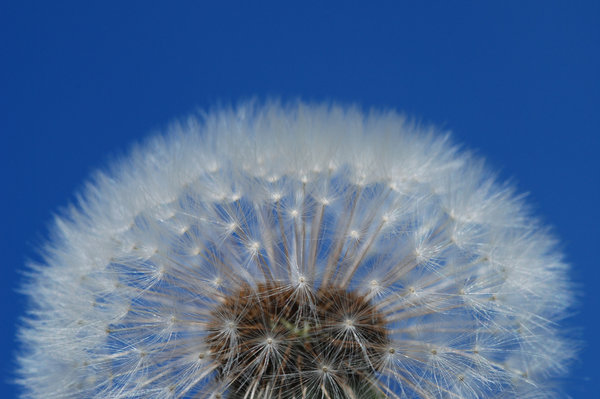 Dandelion Globes 2: Dandelions, a very common weed in many parts of the world. The flower matures into a ball of filaments carrying away achenes with seeds. This replaces previously uploaded photo that had sensor dust artifacts on it.
