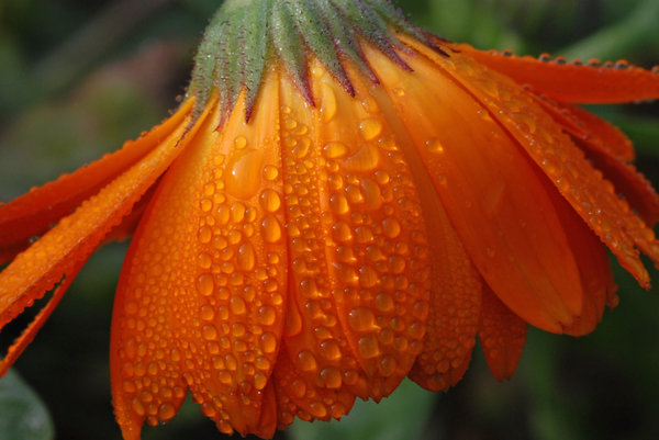 Flower and Dew: Orange flower and dew.