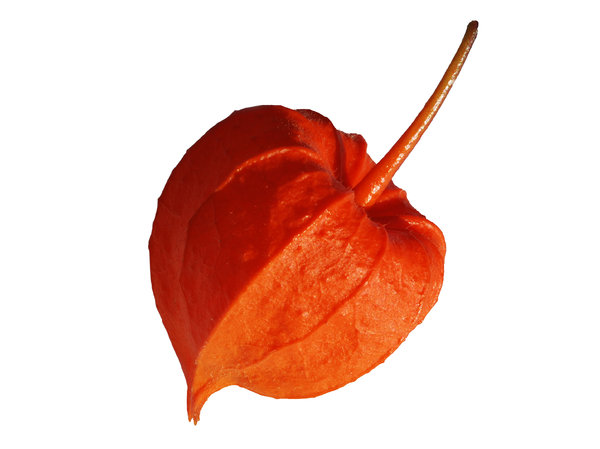Japanese Lantern: This plant has many names:Bladder-cherry,Chinese Lantern, Japanese lantern,hōzuki,Physalis alkekengi.