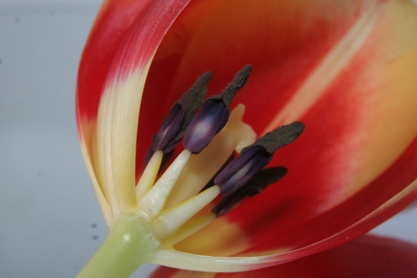 Tulip: Tulip