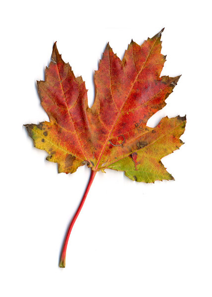 autumn leaf 2: autumn leaves, clipping paths included.