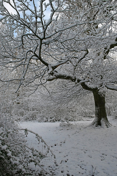 Snow laden: Boughs of an oak (Quercus) tree in West Sussex, England, after a blizzard.