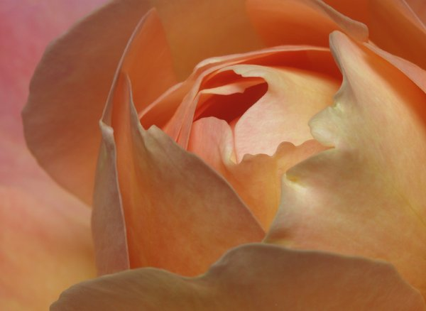 Rose: The queen of flowers must be the rose. Here in close up.