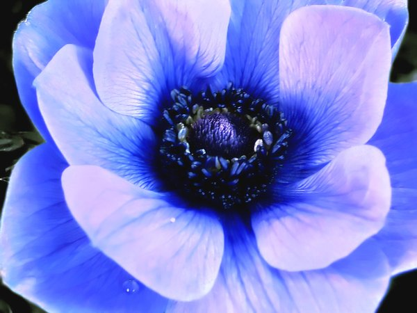 Anemone: A beautiful blue anenome.