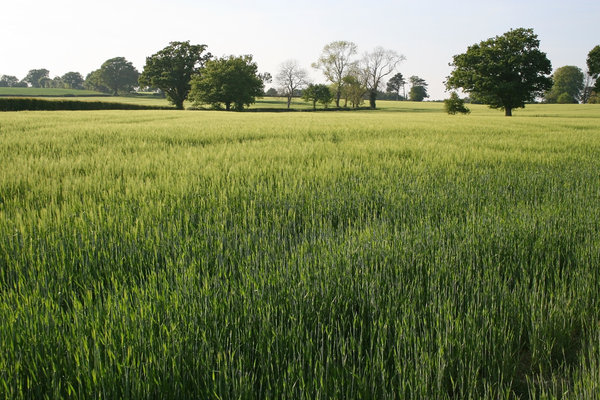 Green fields: Fields of young wheat in West Sussex, England, in spring.