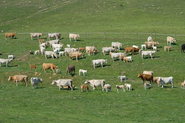 Cattle: Cattle
