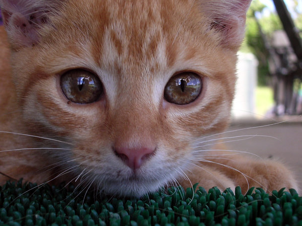 Ginger Kitten: A ginger kitten found recently on the side of the road in a rural area of QLD. Couldn't keep him (cats and pademelons don't mix well) but managed to find a new home for him after a few days... and now miss him terribly!