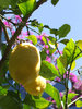 lemon - crete