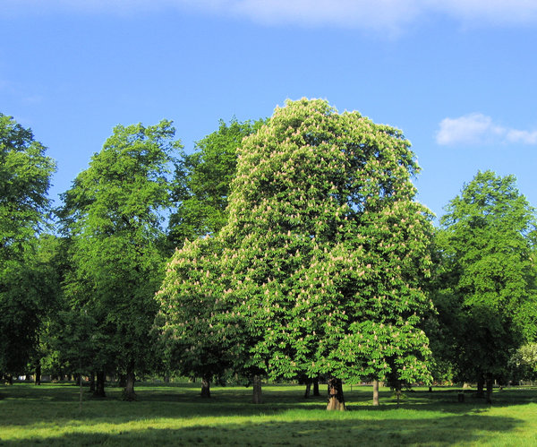 chestnut in a park: big chestnut trees in a park