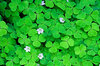 Wood Sorrel 2