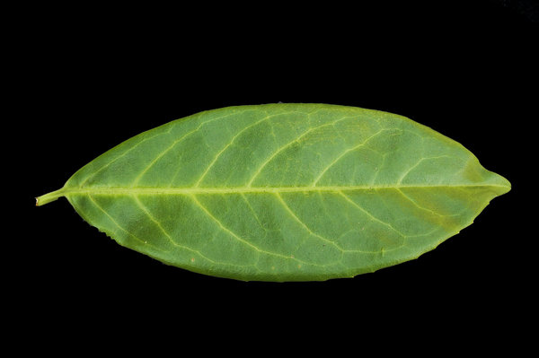 Rhododendron Leaf: Macro shot of Rhododendron leaf