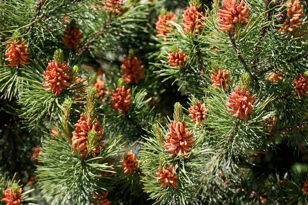 Fir Background: Close-up of Fir Tree for Background