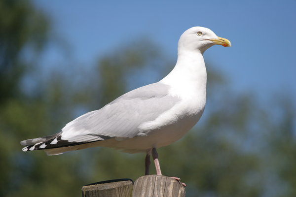 Herring Gull: Close-up of Herring Gull