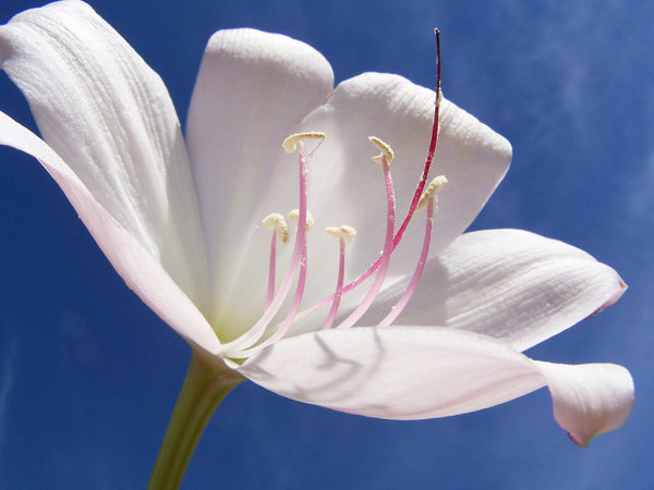 Lily White: A lily from my garden, has lovely scent, and hint of pink. The stem was about 1 metre tall.  White lilies are symbols of purity.