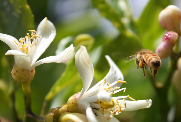 bee flight: Bee with pollen sac hovering by a lemon tree blossom