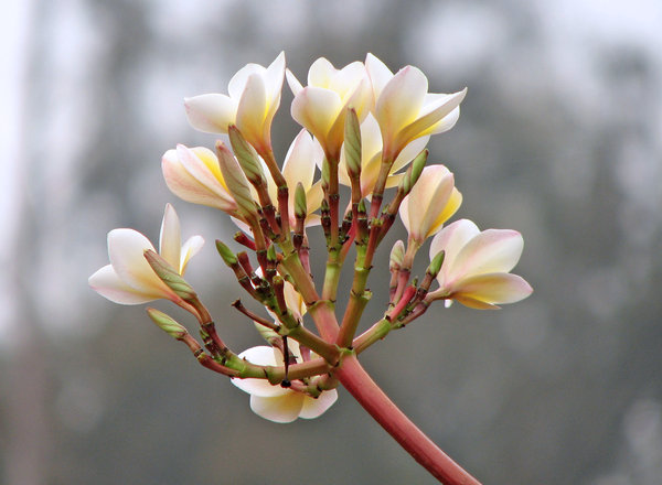 Frangipani: Frangipani flowers light up a monsoon day.