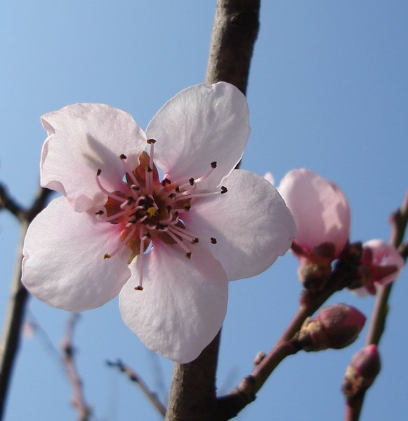 flowering spring: flowering peach tree