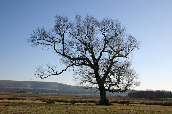 Downland tree: An oak (Quercus) tree near the South Downs, West Sussex, England, in early spring.