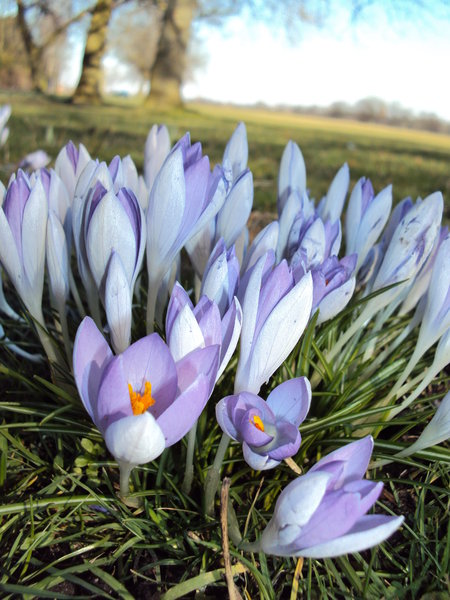 Crocus: Purple crocus in my local park, opening to the sun and heralding Spring