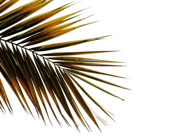 Palm tree leaf: decorative palm tree leaf