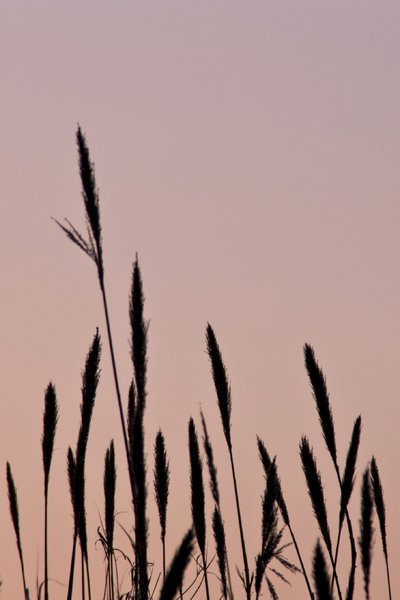 bulrushes: bulrushes at sunset