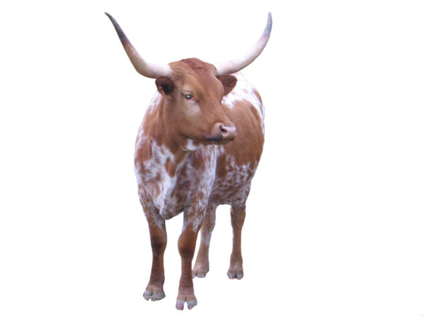 Points: Long horn cows