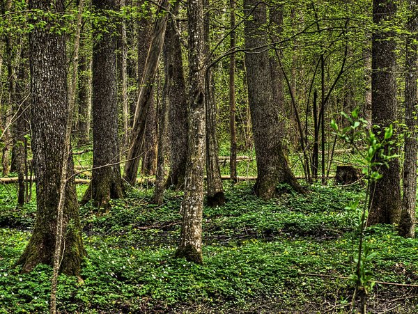 Forest - Bialowieza: No description