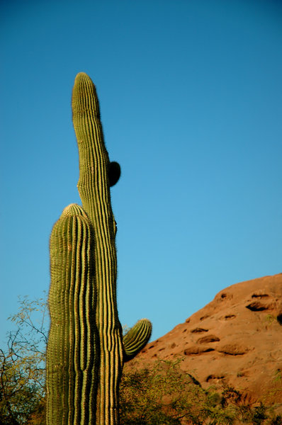 Saguaro cactus 1: Here are a variety of saguaro cactus taken north of Scottsdale, Arizona.