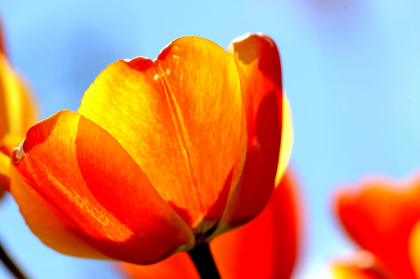 Tulips: Here are some tulips in Durham Ontario.I am not really a flower person but I thought these one deserved a pic.