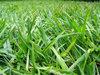 > Green Grass 1