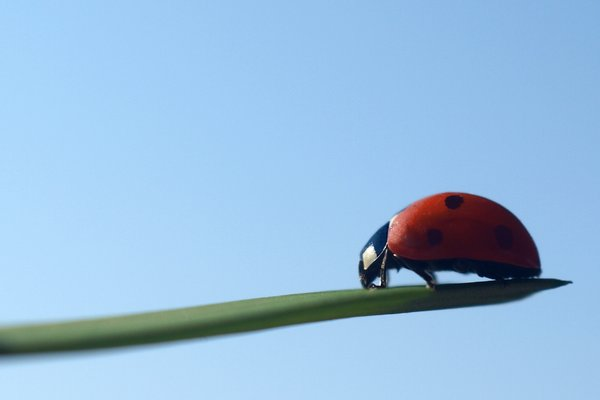 Ladybird: Ladybird with one colored background. The lens is an old Carl Zeiss 35mm.
