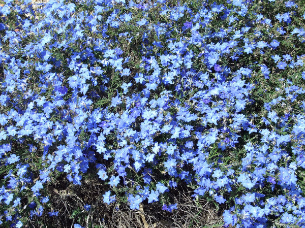 blue carpeting: Australian blue leschenaultia flowers