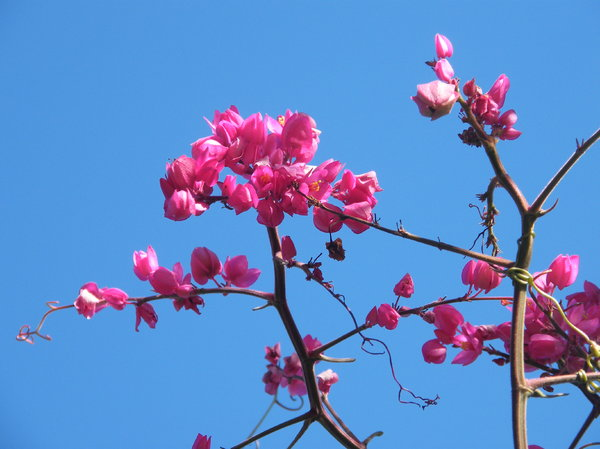 pink and blue: pink flowering creeper against blue sky