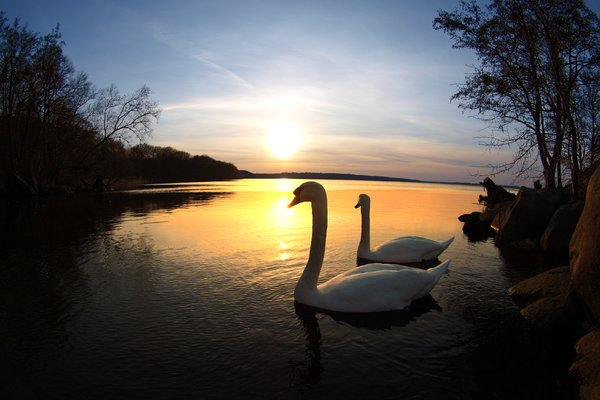 Swans in sunset: A pair of swans posing in the sunset