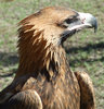 Australian wedge-tailed eagle 
