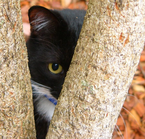 Cat Peering: Hiding behind a tree, my cat is listening, as he's completely blind.