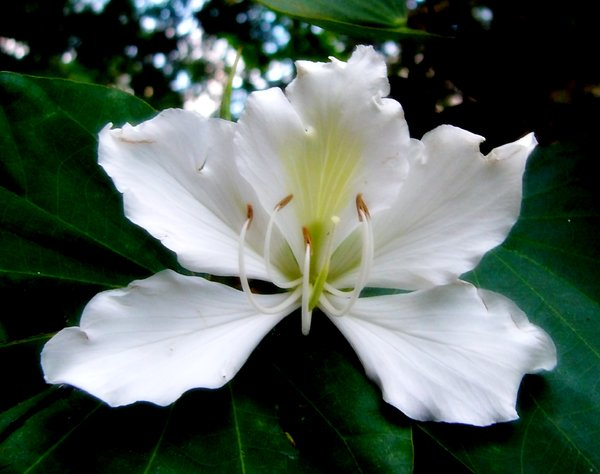 free stock photos  rgbstock  free stock images  white bauhinia, Beautiful flower