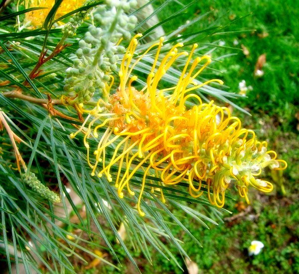 Free stock photos rgbstock free stock images moonlight moonlight grevillea mightylinksfo