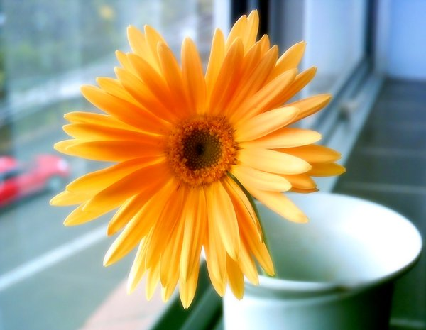 Happiness - Gerbera 1: A beautiful gerbera in a vase on my window. Taken with my old camera. This looks nice as a desktop background.