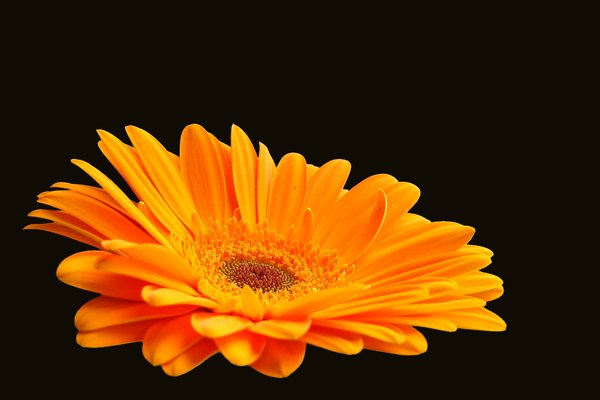 Gerbera Daisy Orange 2: Cut out gerbera on a plain background. Pretty orange colour.